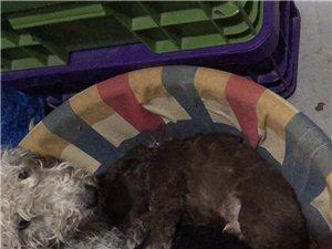 自家貝靈頓繁殖小狗