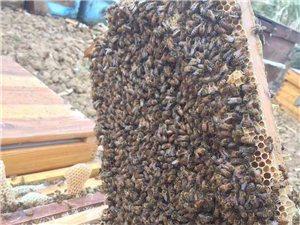 出售纯天然野生蜂蜜