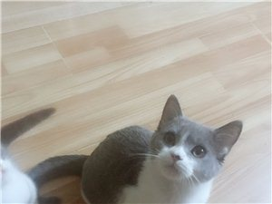 英短蓝白一对猫