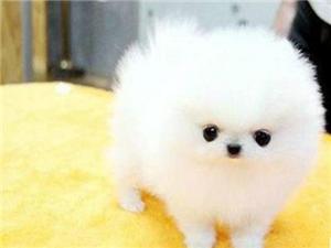 澳门葡京赌场养殖场出售高品质幼犬博美包纯种健康可送货