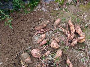 红薯,生姜,芋头,山药