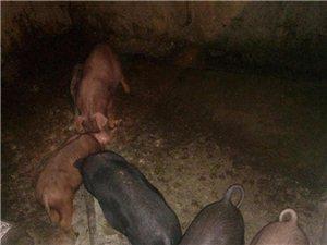 猪娃和大猪(过年猪)