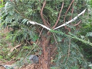 中国红豆杉