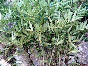 花椒树苗(八月)