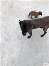 精品血�y�R犬一公一母�ν獬鍪�r格公道