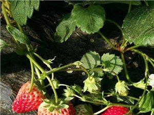 十里《绿色草莓》采摘园