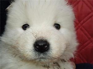精品薩摩耶幼犬一公一母,喜歡的聯系。