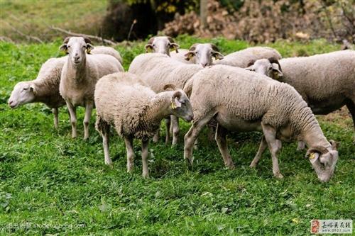 农村散养羊肉出售。