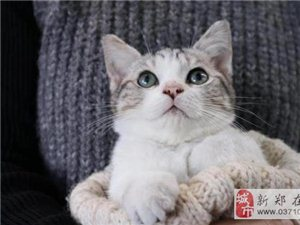 自家养的美短加白猫猫,疫苗打完,健康
