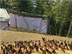 跑山雞,黃沙龍口村正宗跑山雞年底大促銷