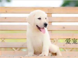 澳门葡京赌场出售纯种拉布拉多犬神犬小七同款拉拉幼犬导盲犬赛