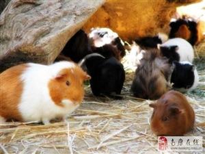 漂亮荷蘭豬喜歡的可以看看