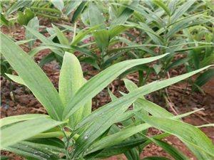 黄精中药材种植种苗块茎大量批发中