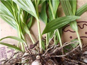 白芨中药材种植种苗块茎出售中