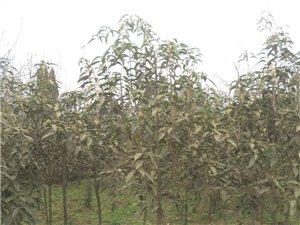 2米多高桂花苗大量出售