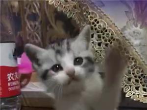美短毛猫无偿寻养