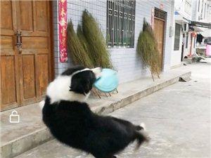 低價寶邊境牧羊犬找主人