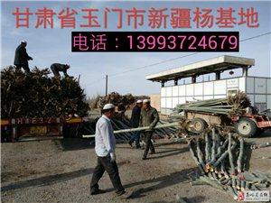新疆杨树苗出售1-15公分