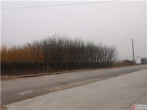 博兴县纯化镇出售国槐树苗