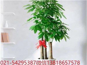 上海市區長寧區閔行區綠植植物租賃花卉植物租擺養護室