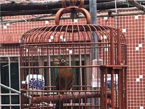 南京画眉鸟出售