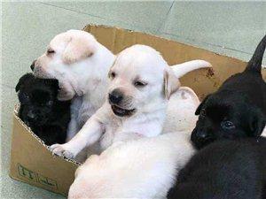 免費領養拉布拉多幼犬