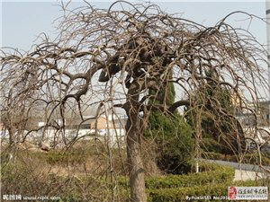 卖树(龙爪槐+冬青)