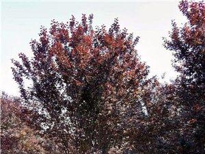 出售绿化苗木- -紫叶李、桃树苗