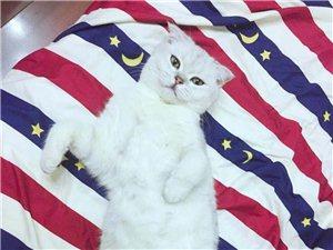 银渐层母猫找公猫配种