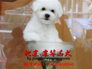 比熊多少钱比熊好养吗北京哪里卖赛级比熊