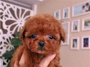 自家繁殖可爱泰迪犬大小体都有健康保活