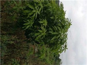 儋州八一 出售果园 20亩 28万