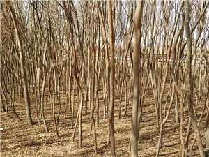低價出售轉讓柳樹苗2500棵!
