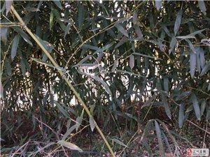 有良竹出售