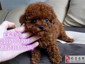 北京哪里出售泰迪泰迪好养吗泰迪照片泰迪