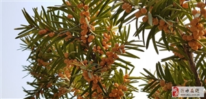 红豆杉、干枝梅、东红、果树盆景