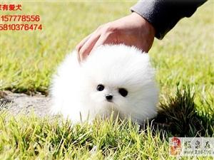 北京哪里出售博美幼犬博美照片博美价格