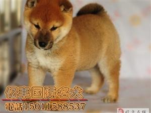 出售纯种柴犬纯种柴犬价格亿丰犬舍直销