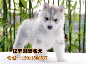 出售哈士奇幼犬赛级哈士奇哪里有亿丰犬舍直销