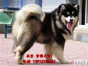 纯种巨型阿拉斯加出售熊版阿拉斯加价格京博犬舍
