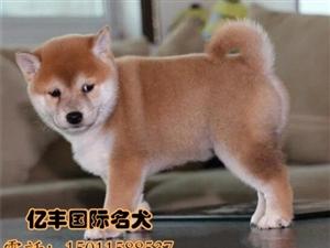 赛级柴犬哪里有亿丰犬舍直销柴犬