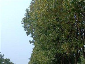 八里河玉龙生态龙场香樟树,栾树出售