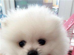 小宠乐园 宠物猫狗批发零售/世界各种名犬幼仔