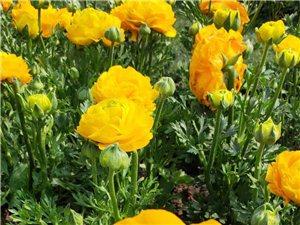 重慶花卉園,重慶草花生產基地 重慶草花種植基地