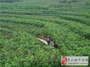 璧山葡萄種植基地-璧山葡萄批發-葡萄價格-葡萄苗