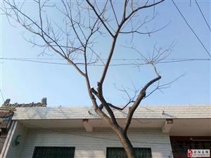 两棵3米高的合欢树出售