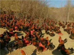 出售林地散养小笨鸡