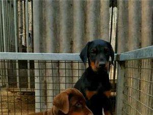 紅河賣杜賓紅河賣杜賓紅河狗場出售純種杜賓