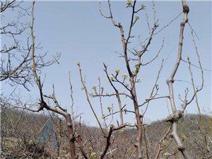 出售各種果樹(各種規格)。13516260343