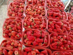 红颜奶油草莓10元1筐,每天100筐,先到先得